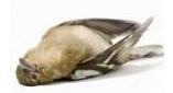 halott madár